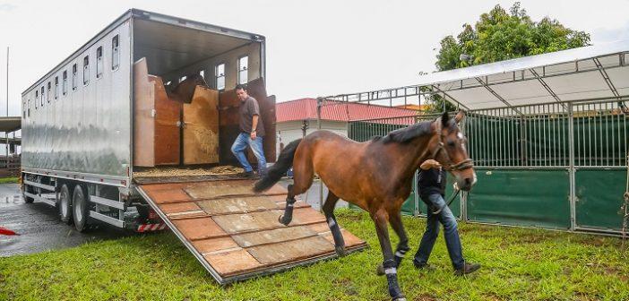 Transporte de cavalos exige cuidado redobrado